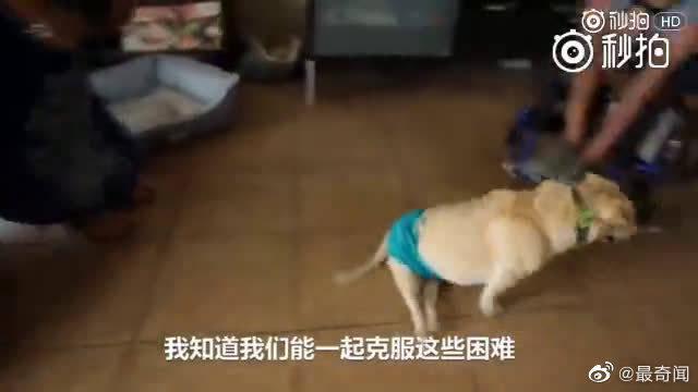 有一条遭遇了车祸的狗狗,在残疾的同时还面临着没人领养的结局……