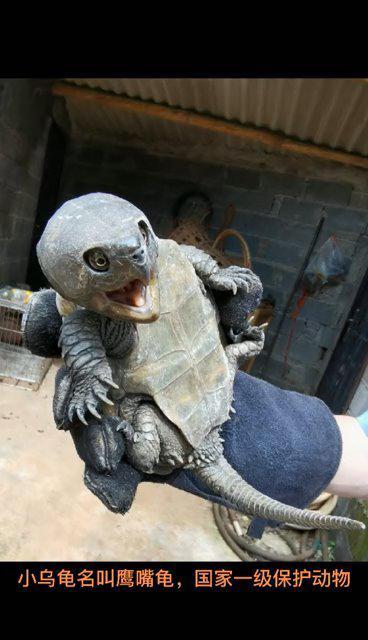 一只小乌龟,竟是国家一级保护动物!