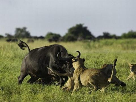 群狮不自量力捕杀野牛幼崽,被野牛发现后的下场让人拍手叫好!