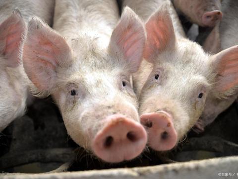 急跌1元?官方出手调控猪价,业内称还有上涨空间?