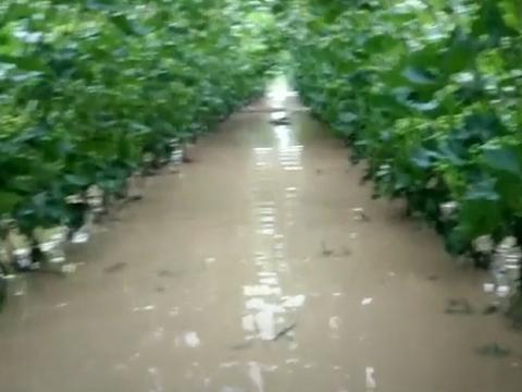 怎么施肥,能提高葡萄对不良天气的抗逆能力,减少经济损失?