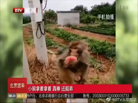 """北京平谷桃农发现猕猴""""下山偷桃"""""""