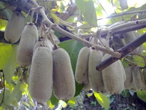 华特猕猴桃高产稳产的栽培关键技术
