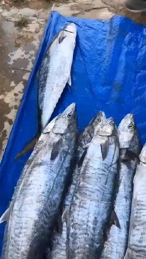 鲜鲜本港马鲛鱼、肉质细嫩甘鲜可口少刺😍顺丰快递