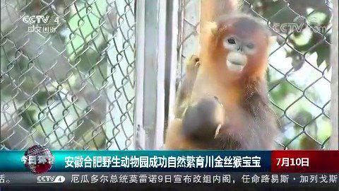 安徽合肥野生动物园成功自然繁育川金丝猴宝宝