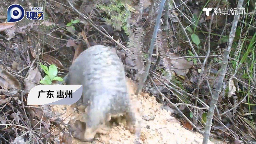 罕见!广东首次拍摄到中华穿山甲白天出洞