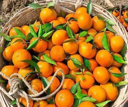 桂林地区沃柑丰产栽培技术要点、种植抚育管理、病虫害防治