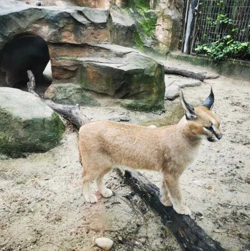 """""""天线猫""""来了, """"蛤蜊炖蛋""""也来了!暑假去上海动物园看小萌物吧"""