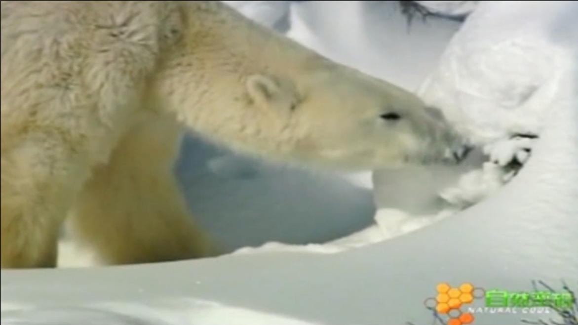 北极熊妈妈即将临盆,它为孩子找到了一个藏身地 自然密码0116