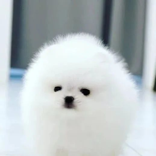 白白软软棉花糖,这只狗勾真的很可爱诶!
