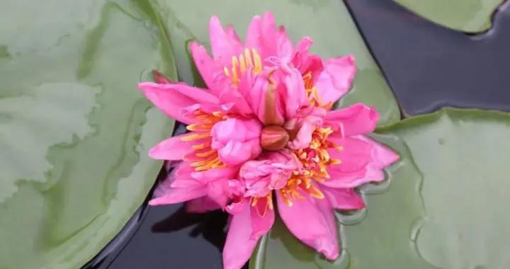 广州番禹莲花山发现一朵七蒂睡莲将申吉尼斯世界纪录 景区已制作植物标本