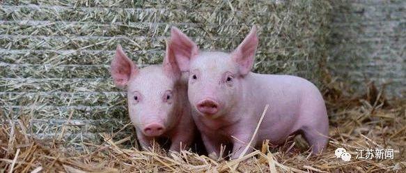 江苏放大招:猪场出栏1万头猪,奖励100万!