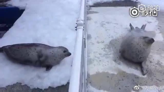 水族馆工作人员,发现两只海豹之间的一种神奇的交流方式