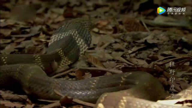 蛇中王者,眼镜王蛇为了交配的打斗,居然可以这么绅士!