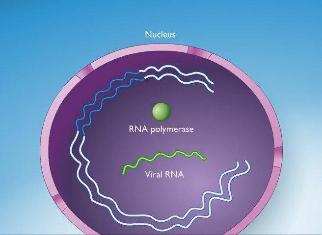 艾滋病毒感染周期如何运作 How the HIV Infection Cycle Works