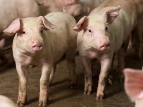 生猪价格持续上涨,为什么养殖户却越来越少?养猪人:不是不想养