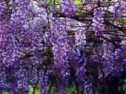 院子里适合栽4种爬藤花卉,养护简单,每年都能开成花墙