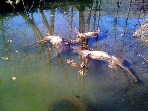野生成年鹿在池塘中溺水,路过男子趁这机会大捞一笔
