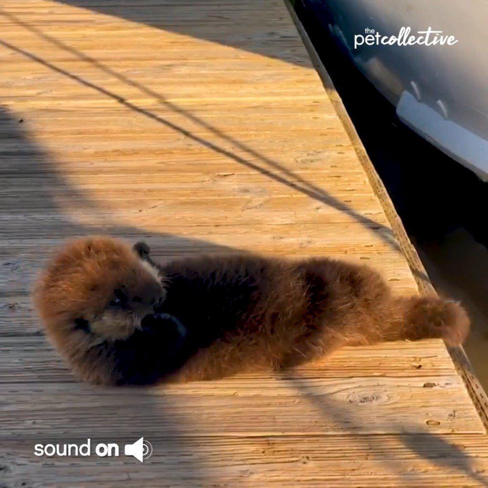 爬上码头晒太阳蹭痒痒的小海獭,一不小心又摔进水里了……