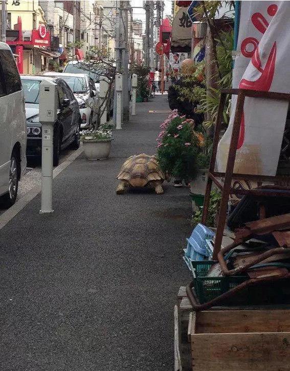 老大爷给自家爱龟穿上维尼熊版裙子,街头遛龟太拉风!