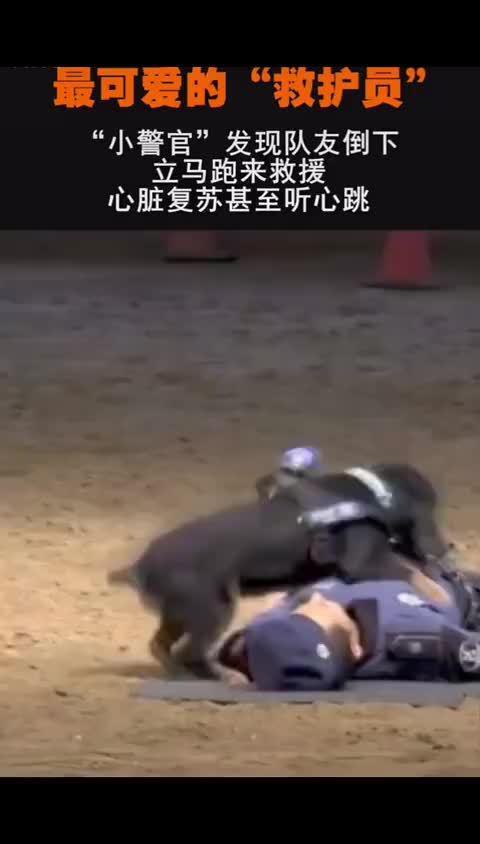 小警犬为警员做心脏复苏的动作真是萌呆了!