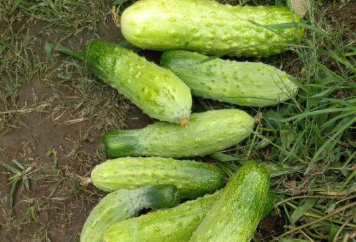 夏天吃黄瓜,药物不用抓,常吃黄瓜好处多,但有1个禁忌要注意