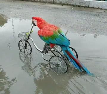 鹦鹉学会了骑自行车,网友却说:你忘了自己有翅膀?