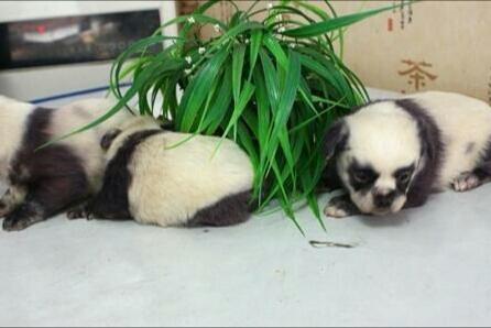 """狗妈妈生下一窝""""小熊猫"""",个个都有双熊猫眼,结果让人哭笑不得"""