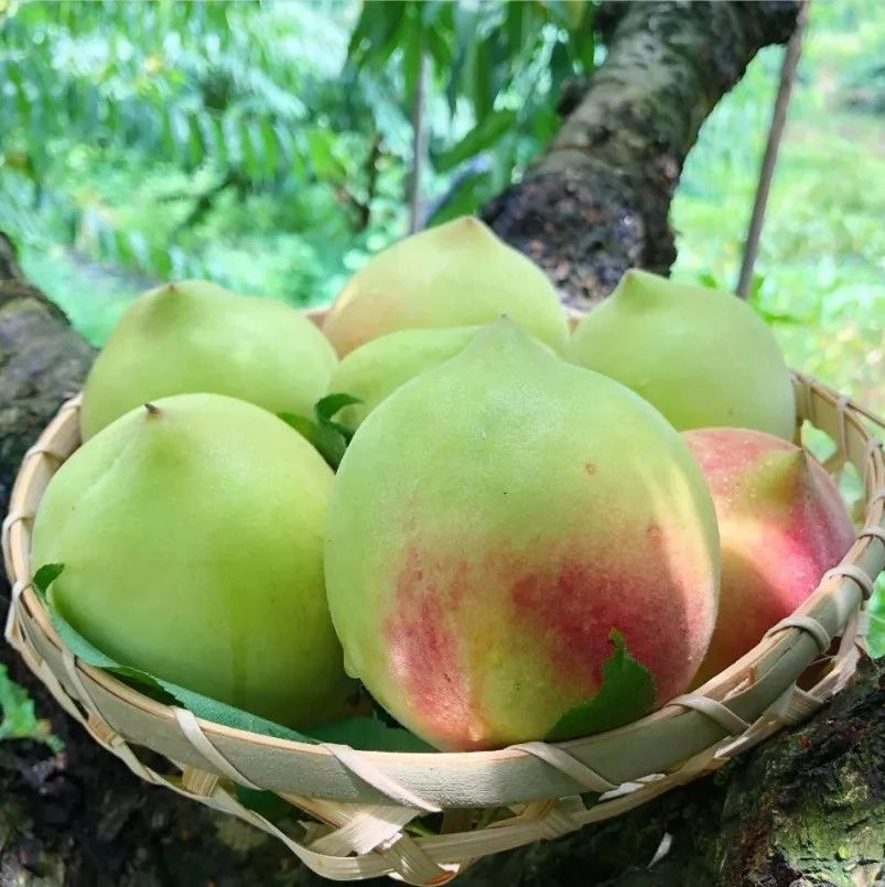一年只卖20天的脆桃中极品「鹰嘴桃」,独特蜜香,顺丰到家,错过后悔一年!