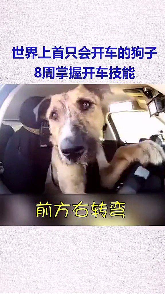 教练看了沉默,学员看了流泪,新西兰一只狗子8周学会了开车……
