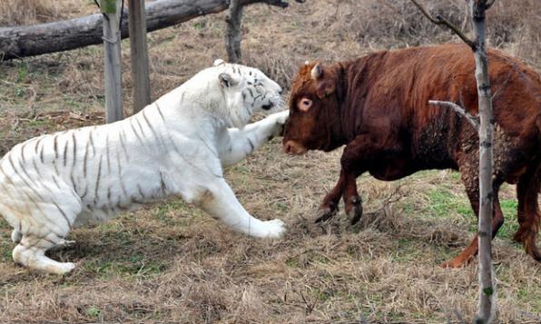老虎调戏黄牛反被咬,游客跳脚大呼你的威武霸气何在