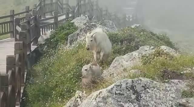 陕西太白山景区发现国家一级保护动物羚牛