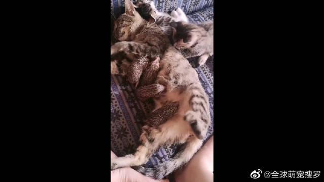 这世界太疯狂,不是耗子给猫当伴娘,就是猫给刺猬做奶娘!