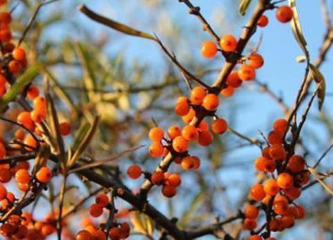 """朔州四大植物特产,右玉沙棘被誉为""""神奇之果"""""""