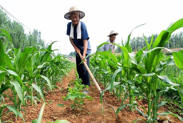 小麦和玉米价格行情涨势明显,下半年还会继续上涨吗?水稻呢?