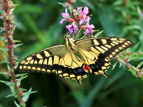 会飞的花朵,虫国的佳丽,最美丽的昆虫之一,蝴蝶