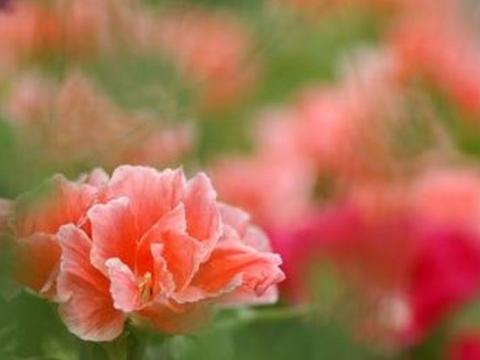 此花是花坛中的常客,盛开时如同铺满地毯,非常艳丽!