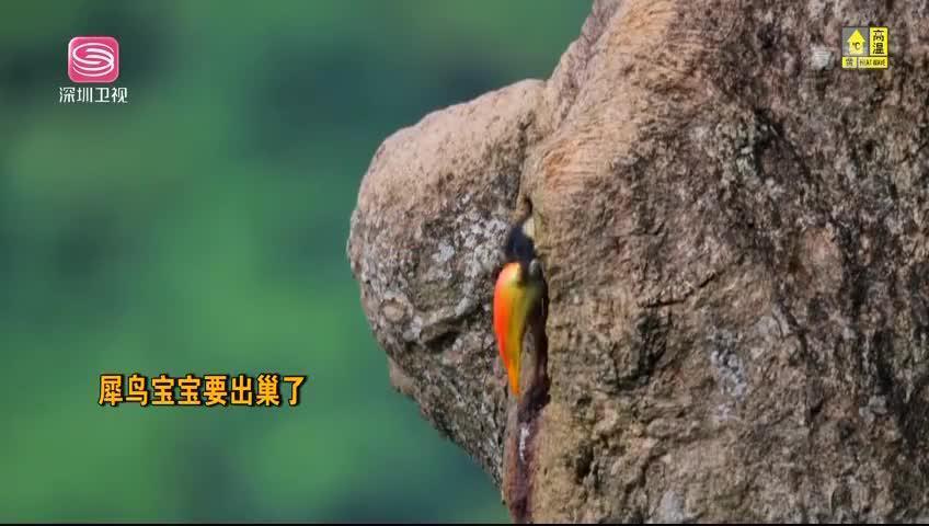 犀鸟宝宝要出巢了