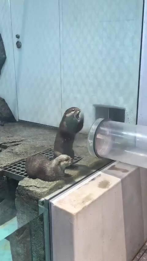日本吹田市NIFREL水族馆的水獭,看见饲养员给别的动物喂食……