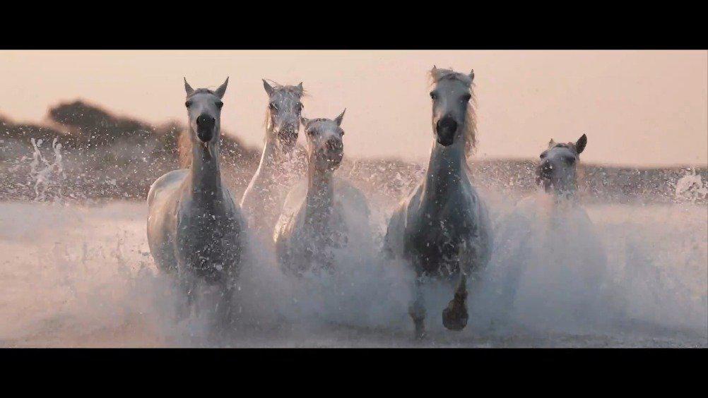 白色卡马格马(Camargue horse)是法国南方卡马格地区的古老特有