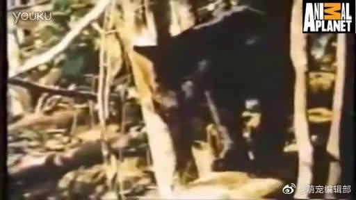 黑色美洲豹跳入河中猎杀超大号的鱼