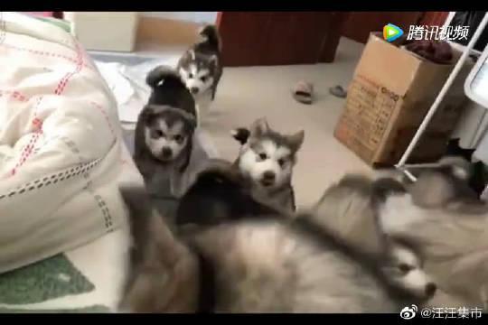 哈士奇妈妈:宝宝们快来,主人不在家我带你们上床玩!