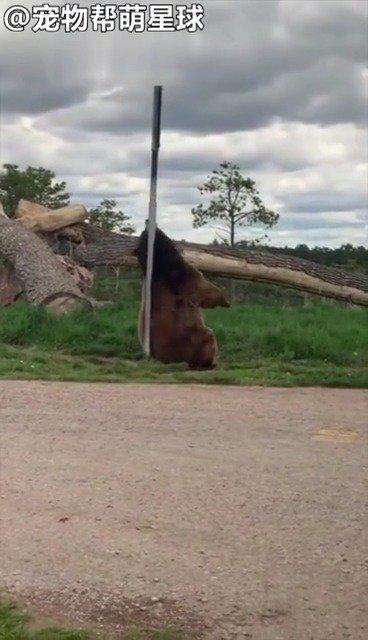 大棕熊挠痒痒挠出火辣钢管舞,一看就是全村唯一去过夜店的熊!