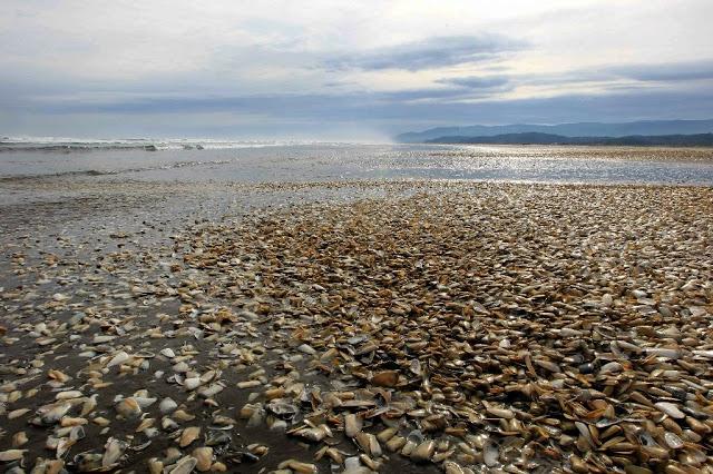 """智利渔民发现海滩上被大片的""""美味""""覆盖,知道后却无人敢吃"""