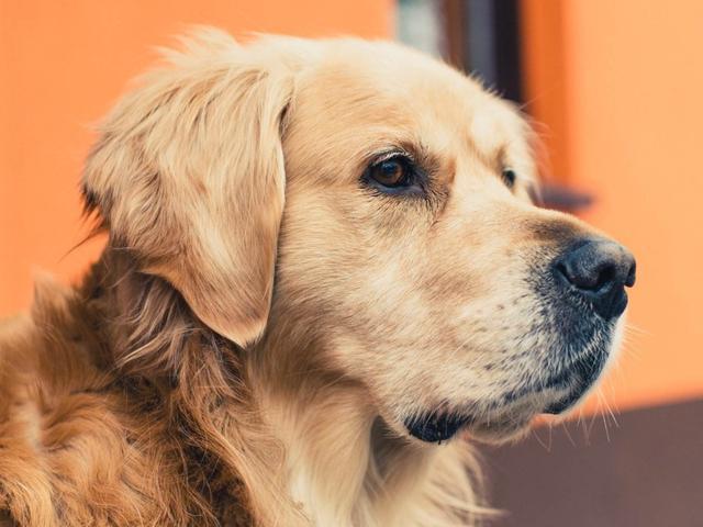 为什么养了金毛后,对其他狗就不感兴趣了?这5点太优秀了