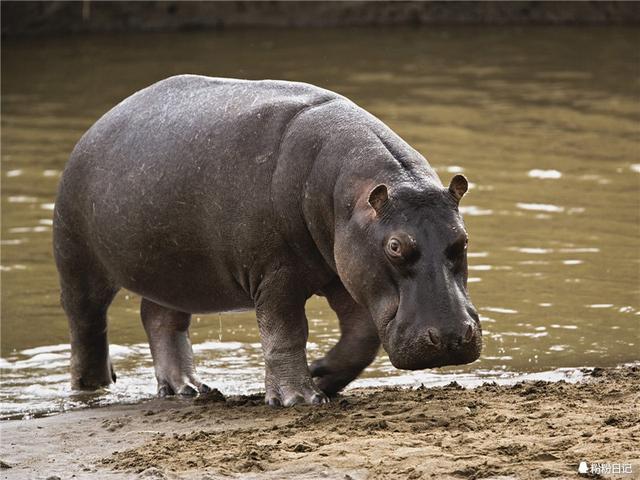 动物园的河马根本不可能这么可爱!