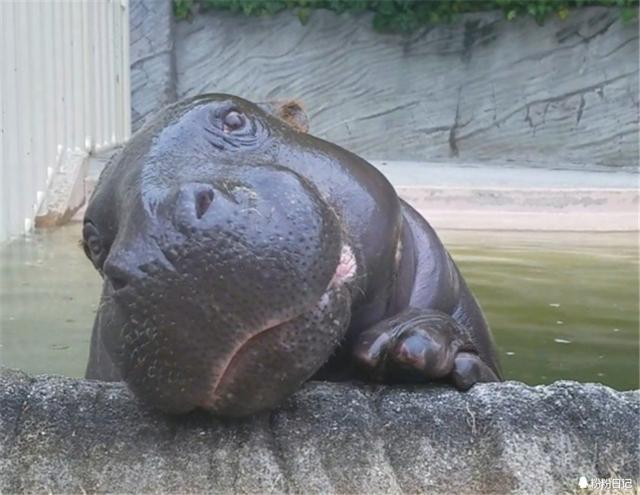 又想骗我养河马?!动物园的河马根本不可能这么可爱!