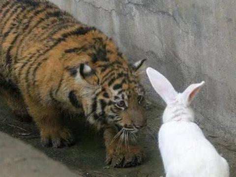 饲养员想激发小老虎的兽性,扔进一只兔子,游客:画面不忍直视