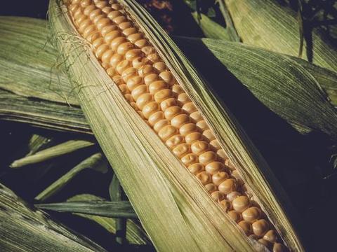 储备玉米被曝存质量问题?为啥粮食储备对于国家那么重要?