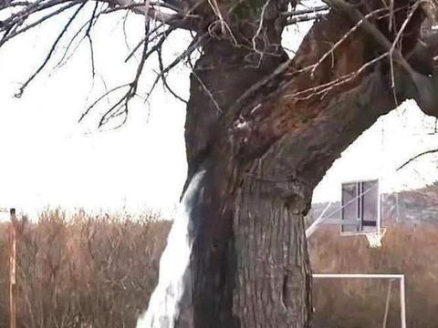 """全球唯一能""""喷水""""的古树,几十年来源源不断,众多游客慕名前往"""